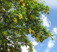 Laburnum against Blue Summer Sky by BlueMoonRose