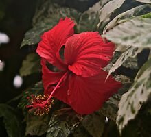 Red Parasol by John Thurgood