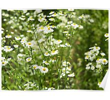Herbs on the lawn - small white camomile flowers Poster