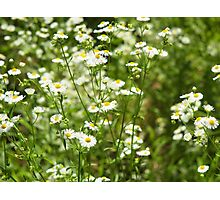 Herbs on the lawn - small white camomile flowers Photographic Print