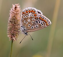 Common Blue  by Neil Ludford
