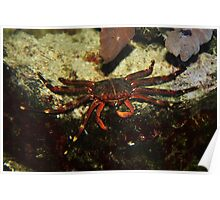 Crab Busy Eating Poster