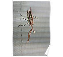 Mating Mantises Poster