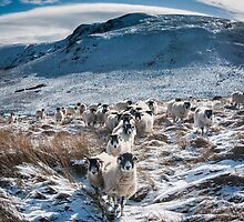 Sheep following a leader by Mike Taylor
