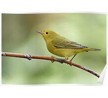 Warbler On A Stick Poster