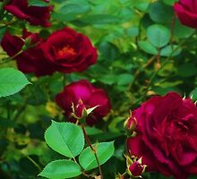 Summer Roses by Cynthia Chronister