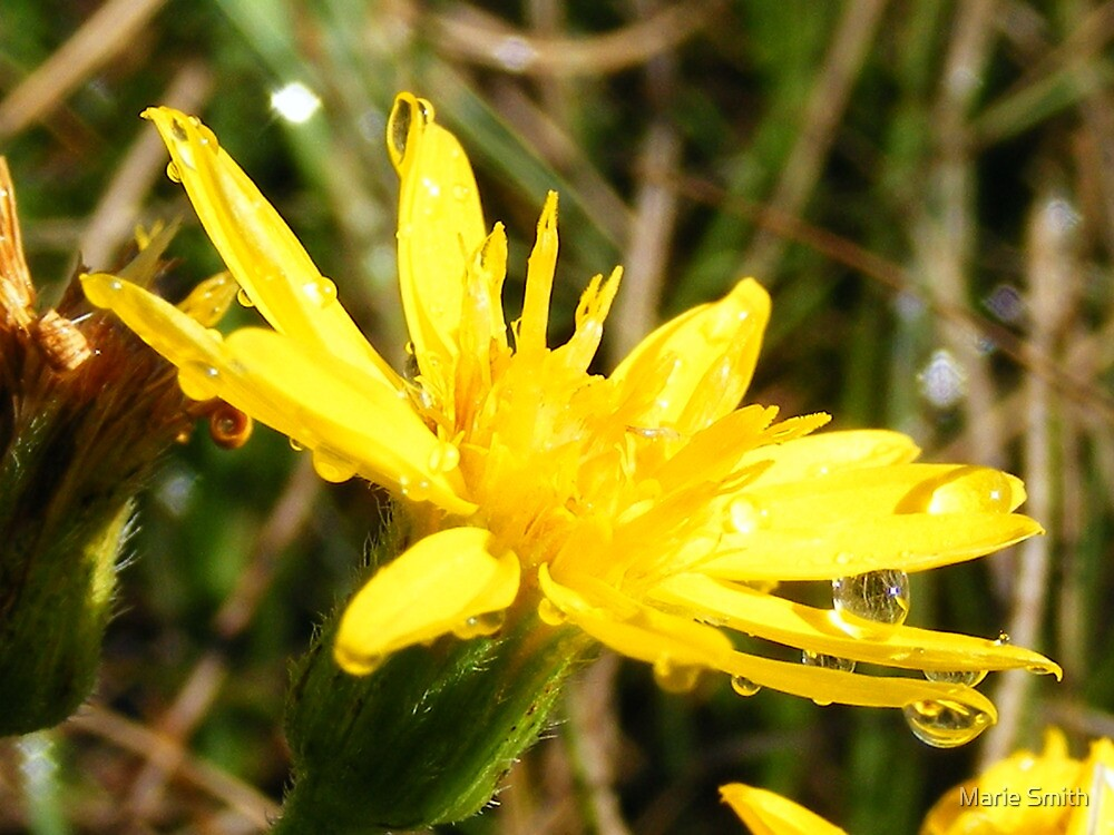 Yellow Wildflower After a Rain Storm by Marie Smith