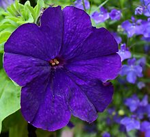 Purple Petunia by AnnDixon