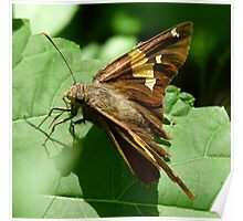 A Silver Spotted Skipper Butterfly Poster