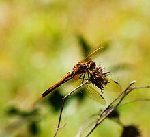 Dragonfly, Macro 1 by Borror