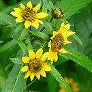Swamp 'Sun Flowers' by MaeBelle