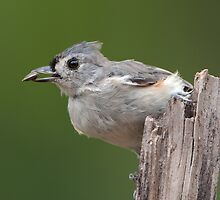Tufted Titmouse with Seed by Bonnie T.  Barry