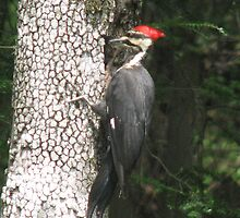 Pileated WoodPecker by JeffeeArt4u