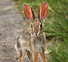 Cottontail Rabbit by Barbara Manis