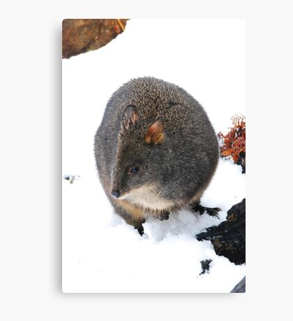 Pademelon Australian Marsupial Canvas Print