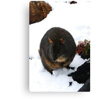 Snow Paddymelon Canvas Print
