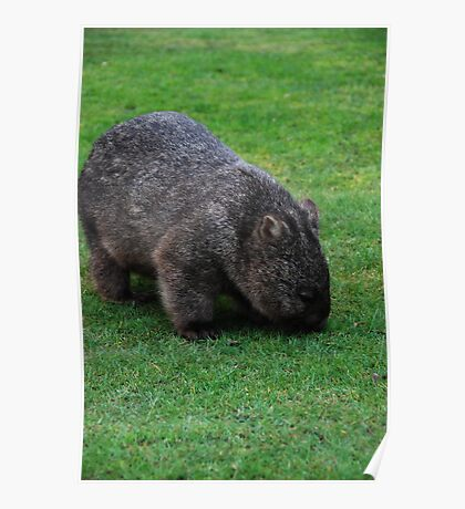Wombat but not in a hole Poster