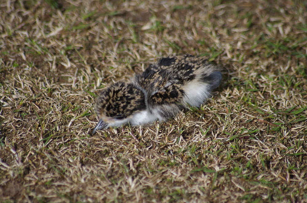 Newly hatched Plover by janfoster