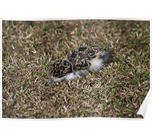Newly hatched Plover Poster