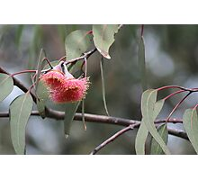 Pink Eucalypt Photographic Print
