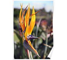 Centenial Park - Bird of Paradise Poster