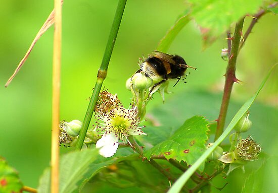 Bee #1 by Trevor Kersley