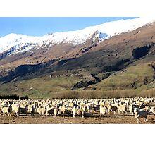 New Zealand sheep Photographic Print