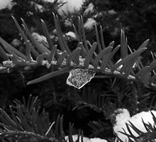 Icecles in the garden in black and white  by bywhacky