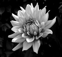 Dahlia in black and white by Janette Anderson