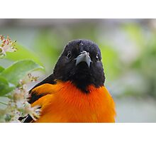 Baltimore Oriole & Apple Blossums Photographic Print