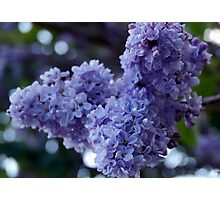 Oooh, the sweet scent of Lilacs Photographic Print