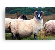 Don't Look at Me Like I was a Wet Sweater (On the road to Mallaig, Scotland) Canvas Print
