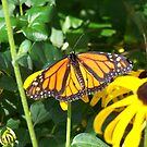 Monarch Butterfly by Michele Markley