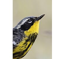 Magnolia Warbler in Breeding Colors Photographic Print