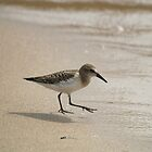 Sandpiper by BarbL