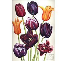 Colourful Tulip flowers Photographic Print