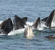 Satisfied Humpback Whales #1 by Gina Ruttle  (Whalegeek)