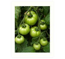 Cottage Garden Green Tomatoes Art Print