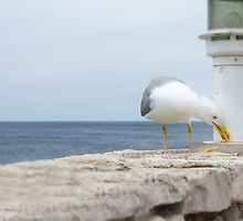 Seagull Eating Food Residues by Inimma