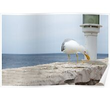 Seagull Eating Food Residues Poster