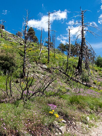 Wildflowers in Bloom on Mt. Lemmon ~ Santa Catalina Mountain Range by Lucinda Walter