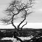 Lone Kiawe, LaPerouse Maui by ZIGSPHOTOGRAPHY