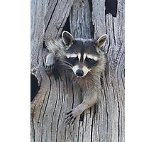 Raccoon Stuck in a Tree Photographic Print