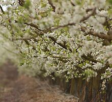 Spring Orchard by Etwin