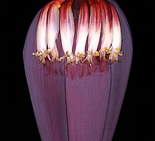 Banana Flower, Maui Hawaii by ZIGSPHOTOGRAPHY