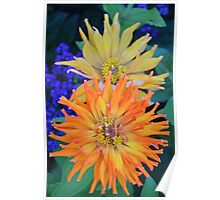 Orange and yellow colored dahlias Poster