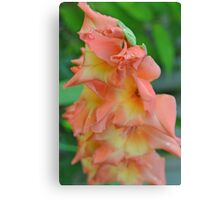 Peach gladiola (4) Canvas Print