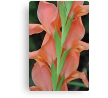 Peach gladiola (2) Canvas Print