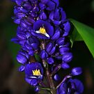 Purple Ginger Maui, Hawaii by ZIGSPHOTOGRAPHY