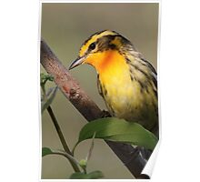 Blackburnian Warbler  Poster